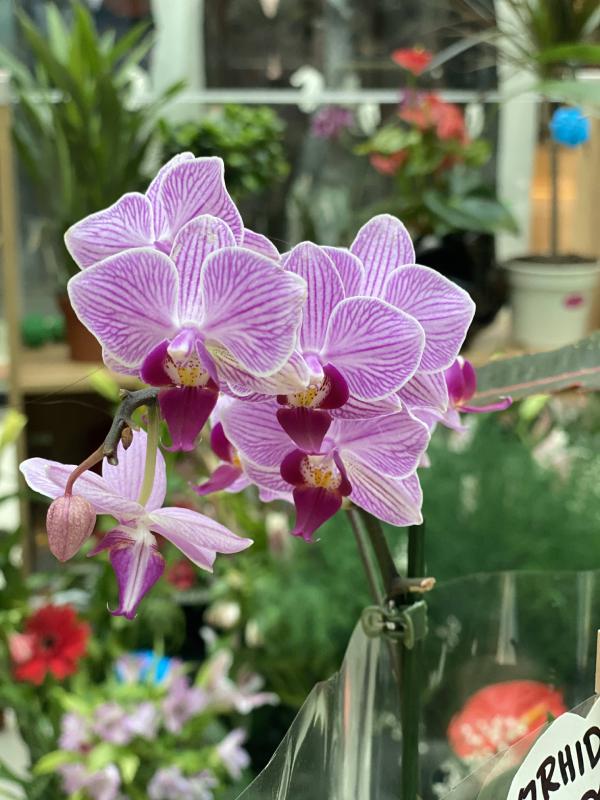 Roze orhideja